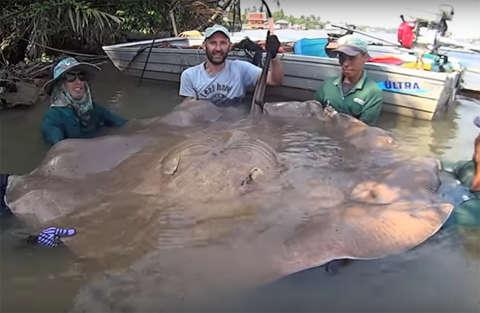 Un pescatore italiano pesca una razza di 240 chili in Thailandia