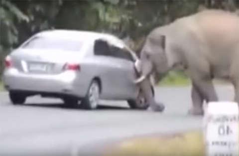 L'elefante carica l'auto dei turisti durante un Safari in Sud Africa