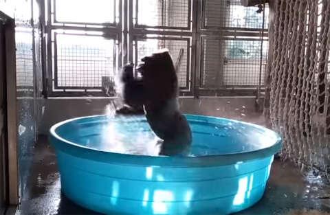 Il gorilla che balla come Jennifer Beals in Flashdance