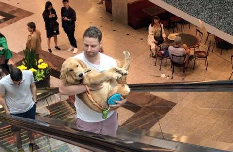 Il piccolo golden ha paura delle scale mobili, il proprietario lo porta in braccio